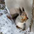 The squirrel with a nut. — Stock Photo