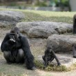 Gorillas - Foto Stock