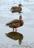 Ducks in the winter. — Stock Photo