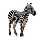 A strip of black, a strip of white - zebra in a zoo, isolated. — Stock Photo