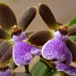 Orchids — Stock Photo #1046511