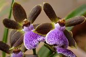 Orchids — Stock Photo
