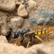 Stock Photo: Small solitary wasp