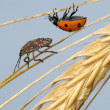 Stock Photo: Ladybird and the bug in the ear