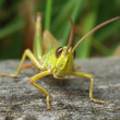 Grasshopper — Stock Photo #1106594