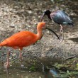 The Scarlet Ibis (Eudocimus ruber) - Stock Photo