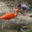The Scarlet Ibis (Eudocimus ruber) — Photo