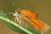 Butterfly Large Skipper (Ochlodes sylvan — Stock Photo