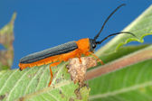 Longicorn beetle on green leaf — Stock Photo