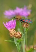 The butterfly Zygaena filipendulae — Stock Photo
