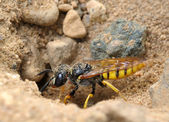 Small solitary wasp — Stock Photo