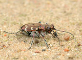 Tigerbeetle — Stock Photo