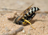 Wasp Bembex rostratus with prey — Stock Photo