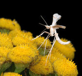 The tiny White Plume Moth Pterophorus p — Stock Photo