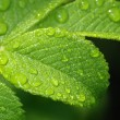 Leaf of wild rose with drops. — Stock Photo
