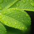 Leaf of wild rose with drops. — Stockfoto