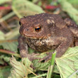 Gray toad (Bufo bufo) — Stock Photo #1783217