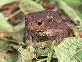 Gray toad (Bufo bufo) — Stock Photo
