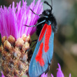 The butterfly Zygaena filipendulae — Stock Photo