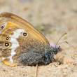 Butterfly Meadow Brown on the sand — Stock Photo