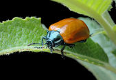 Poplar leaf beetle (Chrysomela populi) — Stock Photo