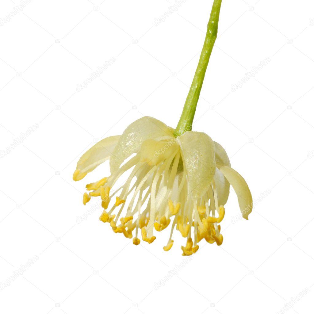 Linden flower — Stock © vblinov