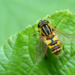 Striped fly (Syrfidae) on a leaf. — Stock Photo