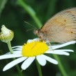 Butterfly Meadow Brown and the fly — Stock Photo