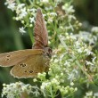 Stock Photo: Butterfly Meadow Brown on the flower
