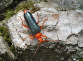 Longicorn beetle on the bark of a tree — Stock Photo