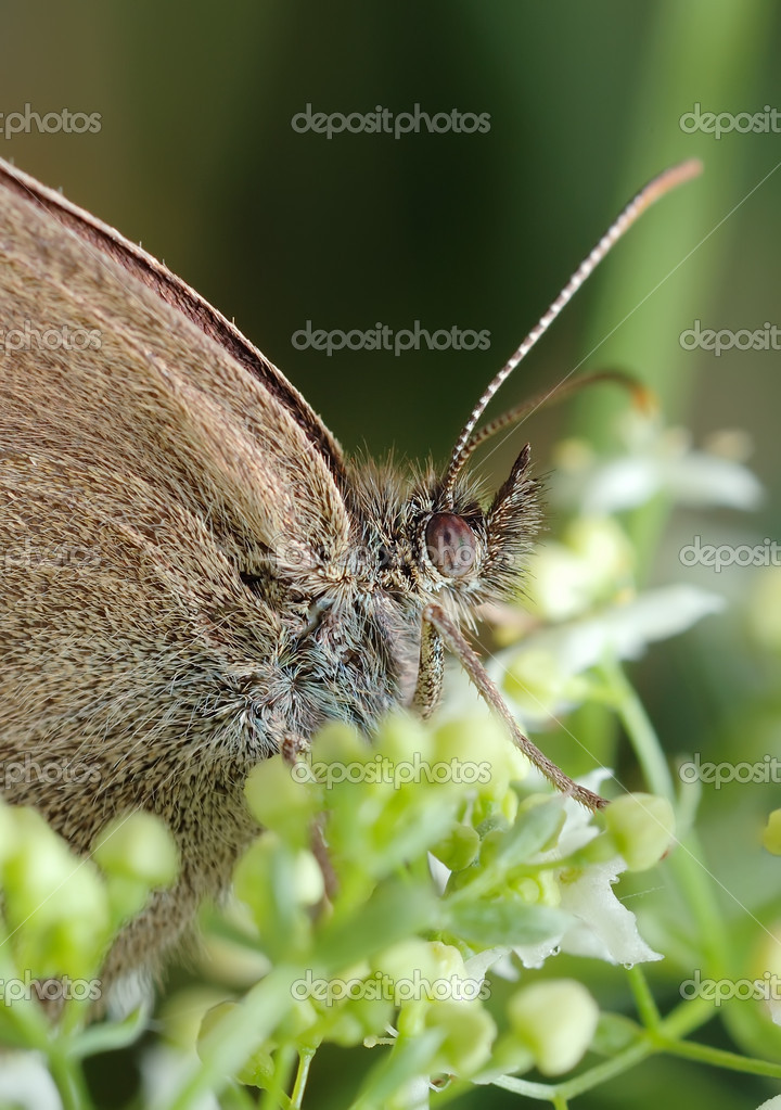 Small brown butterfly (Meadow Brown) on the flower — Stock Photo #2118283