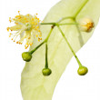 Linden flower — Stock Photo