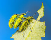 Three weevil — Stock Photo