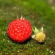 Raspberries on moss — Stock Photo