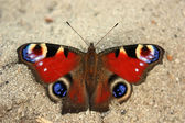 Butterfly on the sand — Stock Photo
