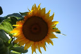 Sunflower as a symbol of sun on the background of blue sky — Stock Photo