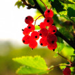 Red currant — Stock Photo #1011046