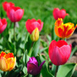 Many tulips in the garden — Stock Photo #1038853