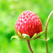 Wild strawberry with green leaves — Stock Photo