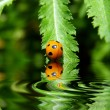 Ladybug on a leaf reflected on water - Stock Photo