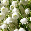Blossoming lily of the valley - Stock Photo