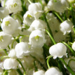 Stock Photo: Blossoming lily of the valley