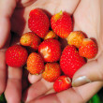 handvoll erdbeeren — Stockfoto