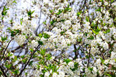 Flowering branch of cherry — Stock Photo