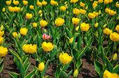 Viele tulpen im garten — Stockfoto