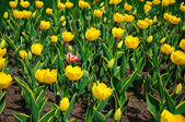 Molti tulipani in giardino — Foto Stock