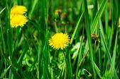 Yellow dandelion flower close up — Stock Photo