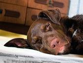 Köpek uyurken — Stok fotoğraf