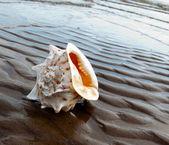 Cockleshell na písčité pobřeží — Stock fotografie