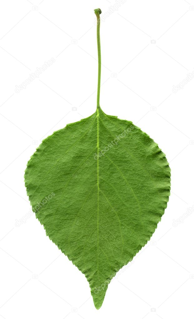 Green leaf of apricot isolated on white background — Stock Photo #1035915